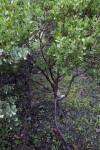 Serpentine Manzanita