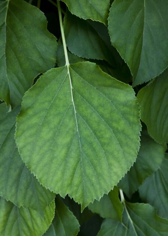 Serrated, Circular Leaf of a Climbing Hydrangea