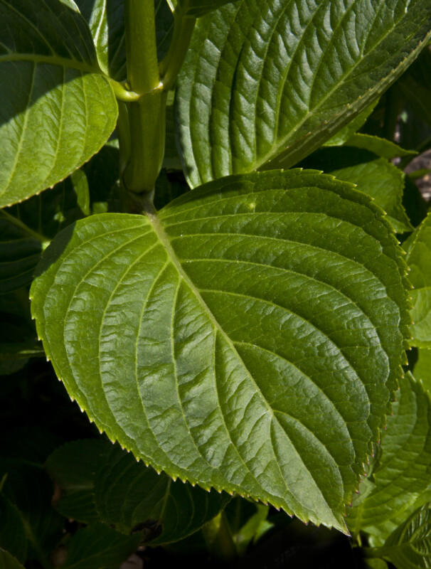 Serrated, Green Leaf of a Bigleaf Hydrangea