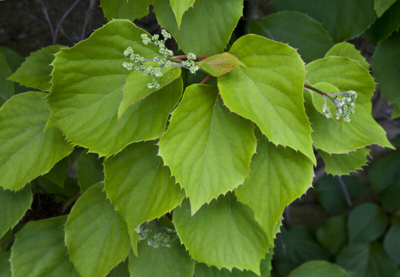 Serrated Leaves and Buds of a Japanese Hydrangea Vine