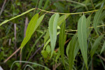 Serrated Leaves Hanging from Branch of a Coastal Plain Willow