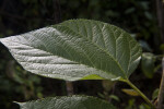 Serrated, Pointed Mulberry Leaf