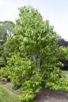 Seven Son Flower Tree at the Arnold Arboretum of Harvard University