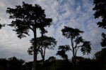 Several Coniferous Trees Against Cloudy Sky