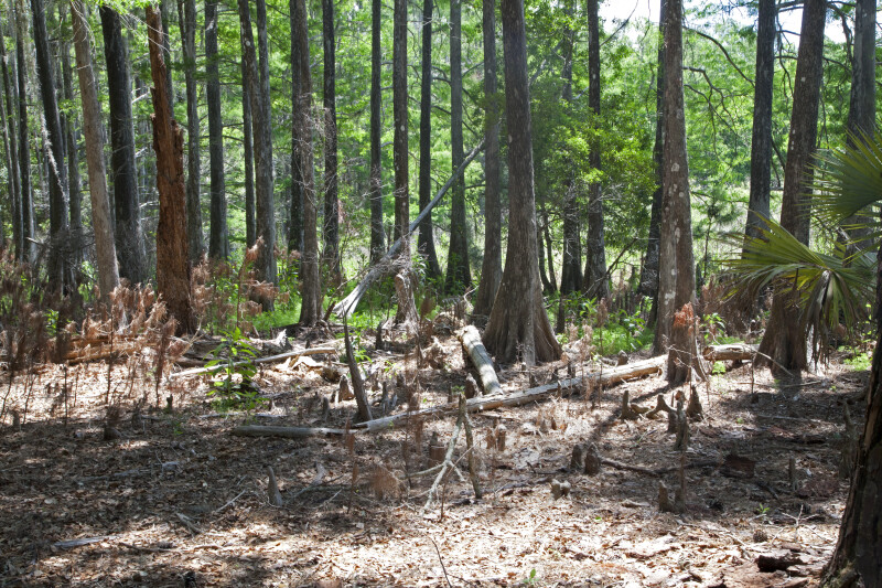 Several Cypress Trees at Chinsegut Wildlife and Environmental Area