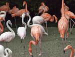 Several Flamingos