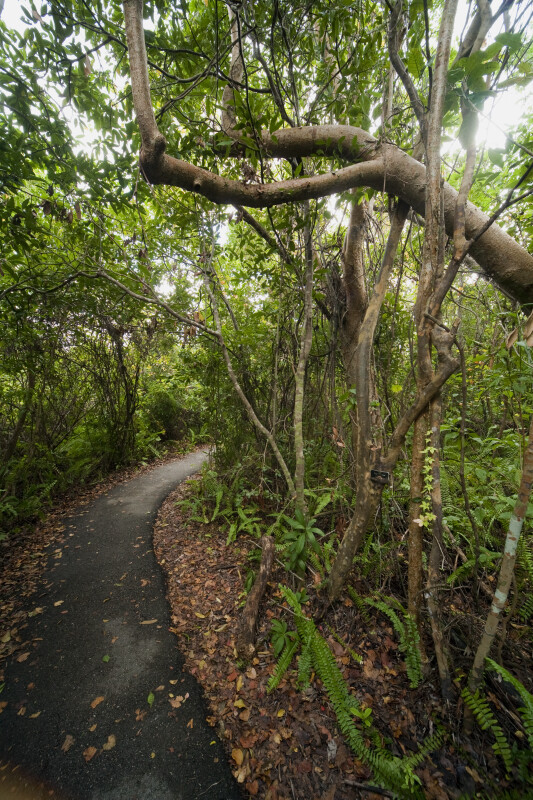 Several Gumbo-Limbo Trees on the Gumbo Limbo Trail