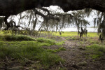 Several Low Hanging Tree Branches at Myakka River State Park