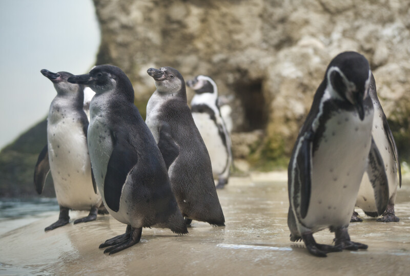 Several Penguins Standing