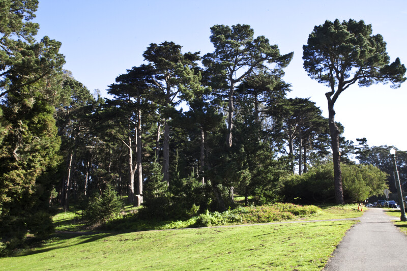 Several Pine Trees