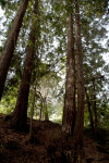 Several Redwood Trees