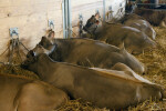 Several Resting Brown Cows