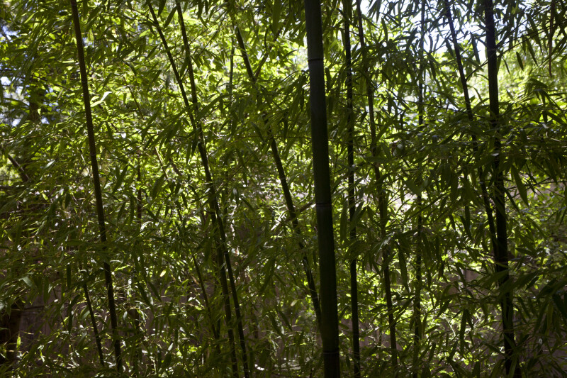 Several Shaded Bamboo Plants at the Sacramento Zoo