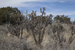 Several Walkingstick Cholla Bushes