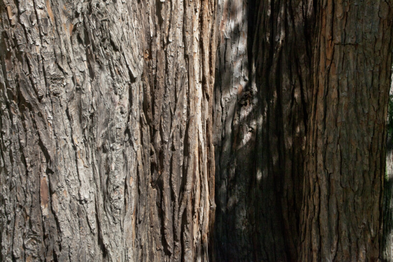 "Shaded Bark of a Weeping Lawson Cypress (Chamaecyparis lawsoniana ""Pendula"")"