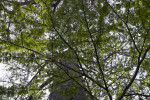 Shaded Branches of Bald Cypress Tree