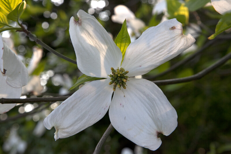Shaded Dogwood Flower