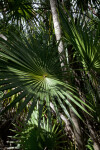 Shaded Florida Thatch Palm Fronds
