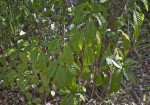 Shaded, Green Leaves of Wild Coffee Plant