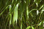 Shaded Leaves of a Timber Bamboo Plant