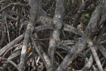 Shaded Mangrove Prop Roots Close-Up