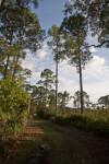 Shaded Slash Pines