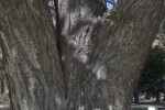 Shaded Trunk of a Princeton American Elm