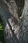 Shaded Trunk of An Autumn Gold Ginkgo
