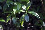 Shaded Wild Coffee Leaves