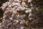 Shadowed Samaras and Leaves