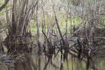 Shallow Water, Trees, and Branches at Myakka River State Park