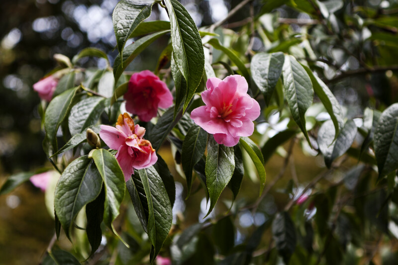 """Shanghai Lady"" Camellia Flowers and Leaves"