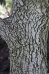 Shantung Maple Tree Bark