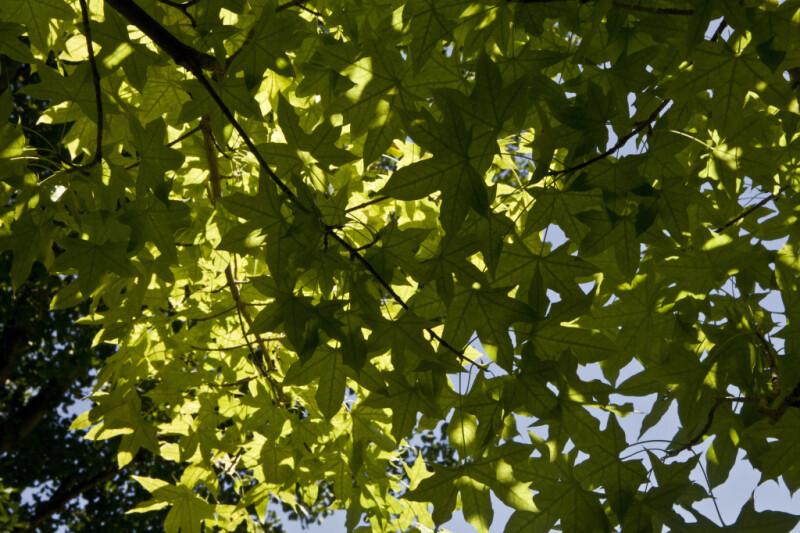 Shantung Maple Tree Leaves