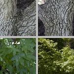 Shantung Maple Trees photographs