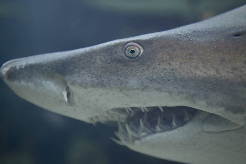 Shark Head Close-Up