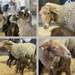 Sheep photographs
