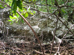 Shell Mound and Mangroves