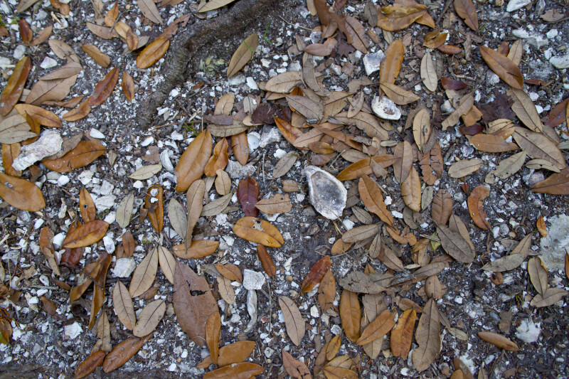 Shells and Brown Leaves