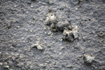 Shells in Mud