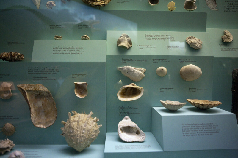 Ancient Mollusc Shells
