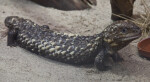 Shingle-Back Lizard