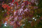 Shiny Dark Red Leaves
