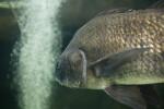 Shiny, Darkly Colored Fish