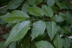Shiny, Green Mistletoe Honeysuckle Leaves
