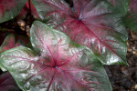 "Shiny Green to Pink ""Postman Joyner"" Elephant Ear Leaves"