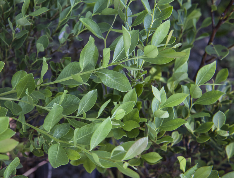 Shiny Lyonia Leaves