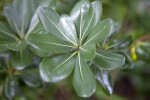 Shiny, Rounded, Green Australian Laurel Leaves