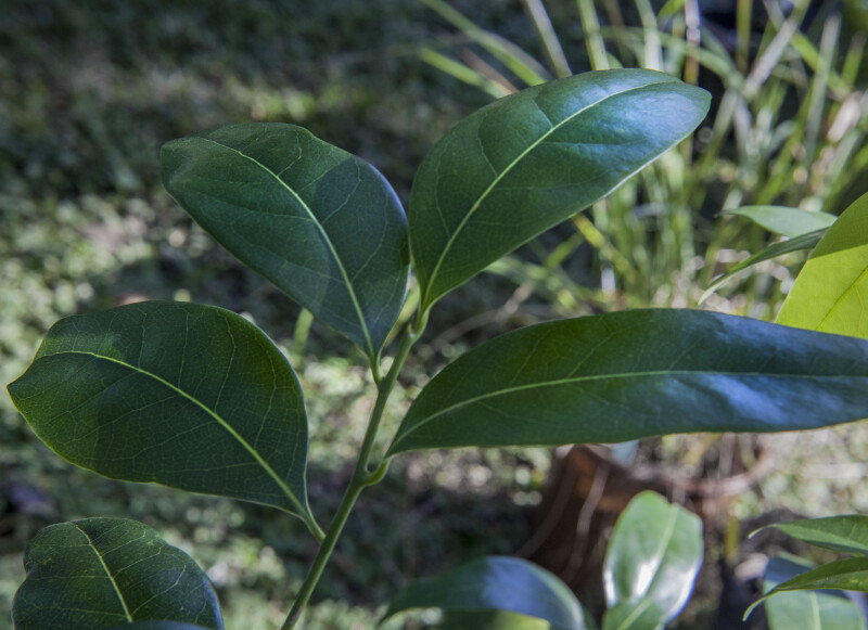 Shiny, Shaded Lancewood Leaves