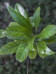 Shiny, Veined Silk Bay Leaves